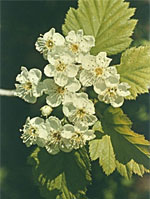 HERBOLANET TSA CRATAEGUS OXYCANTHIA 50 ML - Farmastar.it