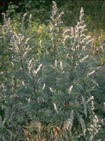 TSA ARTEMISIA VULGARIS 50 ML - Farmaciasvoshop.it
